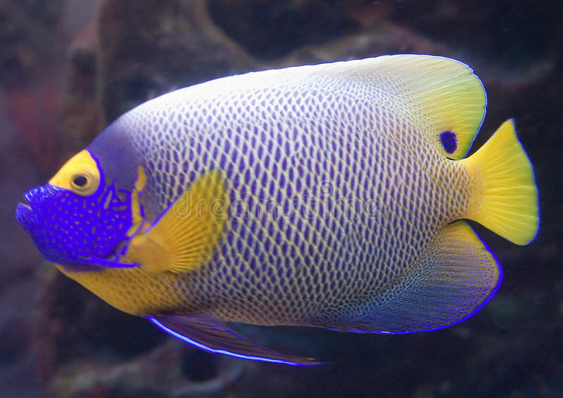 2 angelfish blueface fotografia royalty free