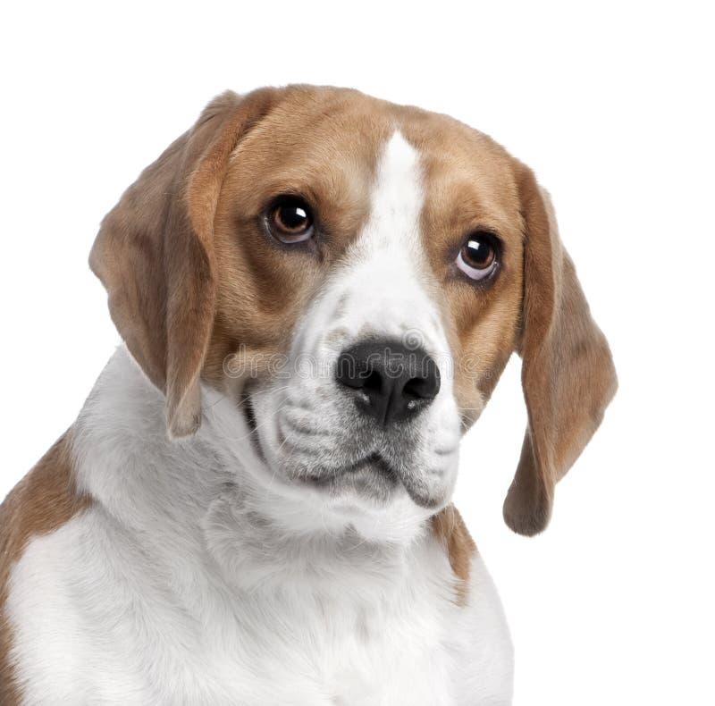 2 beagle w górę rok zamknięty kierowniczy stary s obrazy royalty free