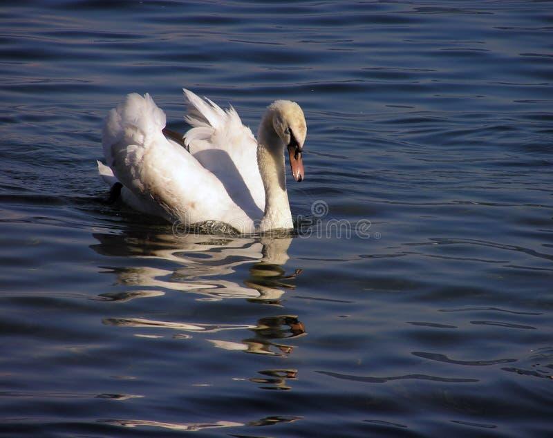2 Białego łabędzia Zdjęcia Stock
