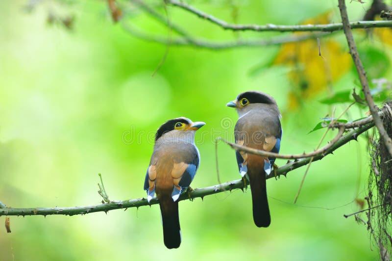 2 bird Broadbill (Silver-breasted)