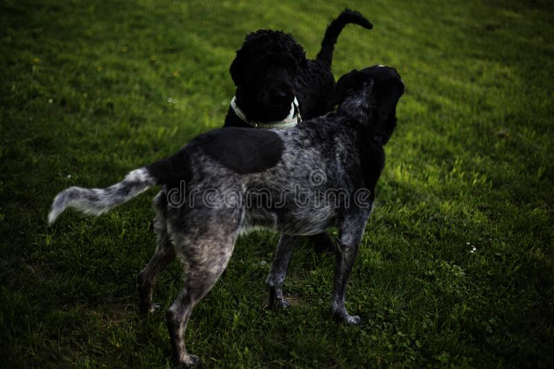 2 Black And Grey Dog On Grass Field During Daytime Free Public Domain Cc0 Image