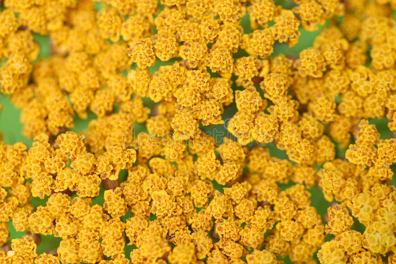 2 blommor mönsan yellow royaltyfri foto