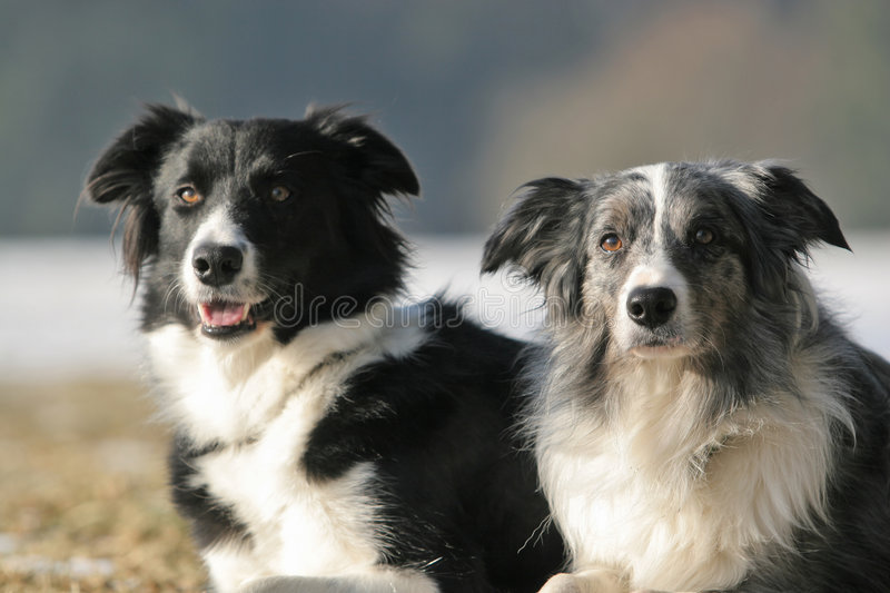 2 border collies royalty free stock photography