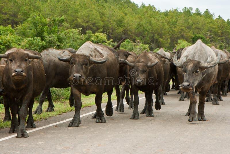 2 bufflar vietnam royaltyfria bilder