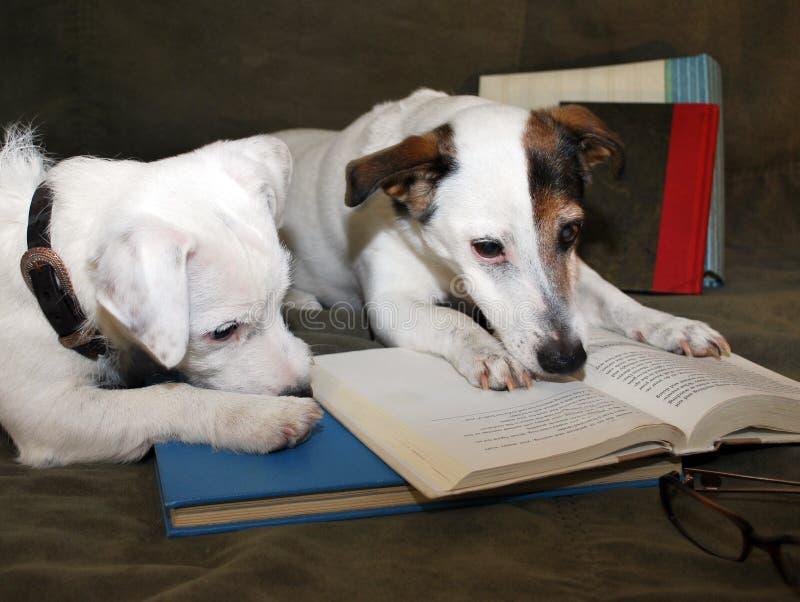 2 cani che leggono un libro fotografia stock libera da diritti