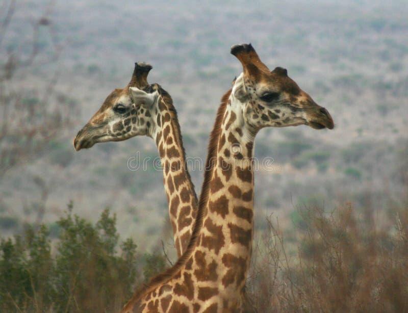 2 chłopca 04 żyrafa fotografia royalty free