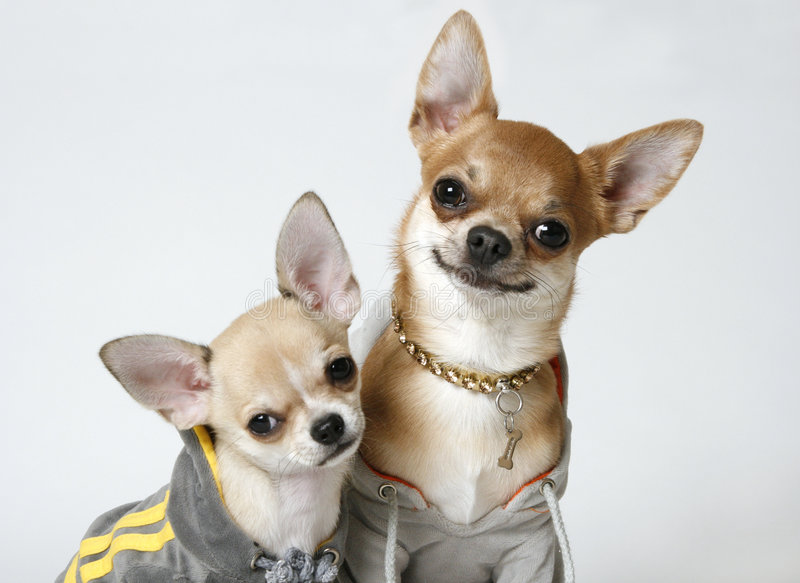 Chihuahuas In Sweatshirts Stock Image Image Of Knits
