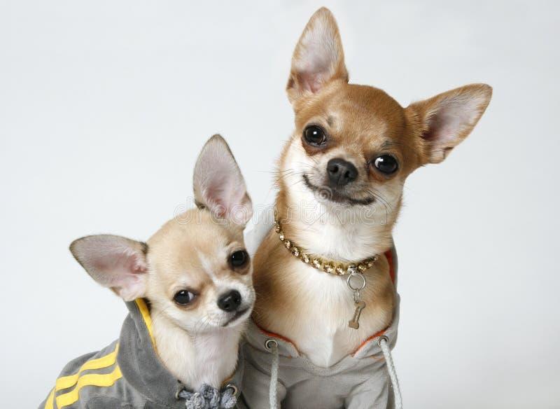 2 chihuahuas στοκ φωτογραφία με δικαίωμα ελεύθερης χρήσης