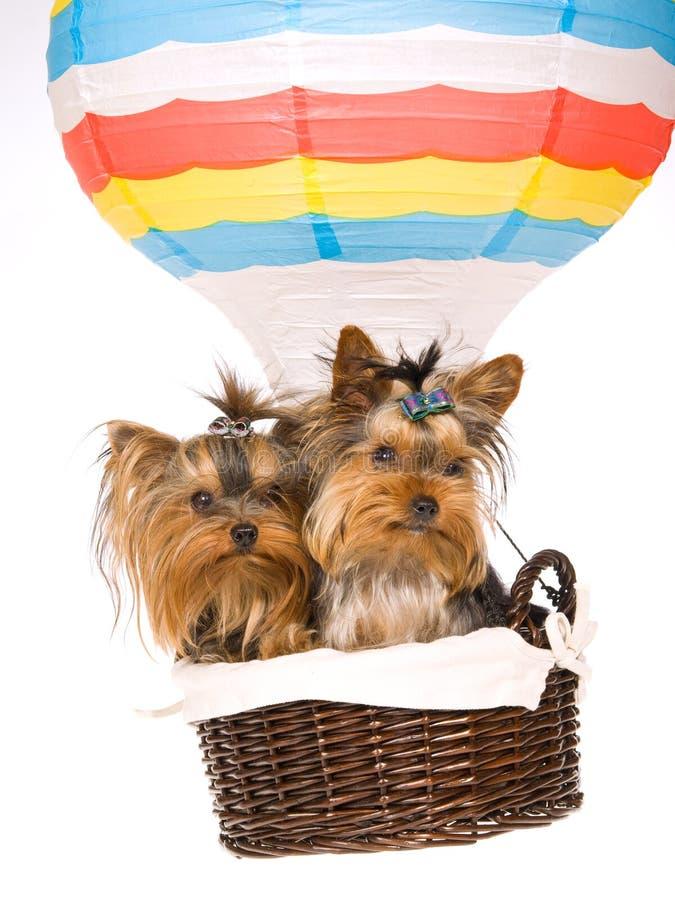 2 chiots de Yorkie se reposant à l'intérieur du ballon à air chaud photo libre de droits