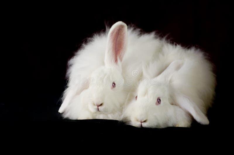 2 coelhos franceses brancos do angora fotos de stock