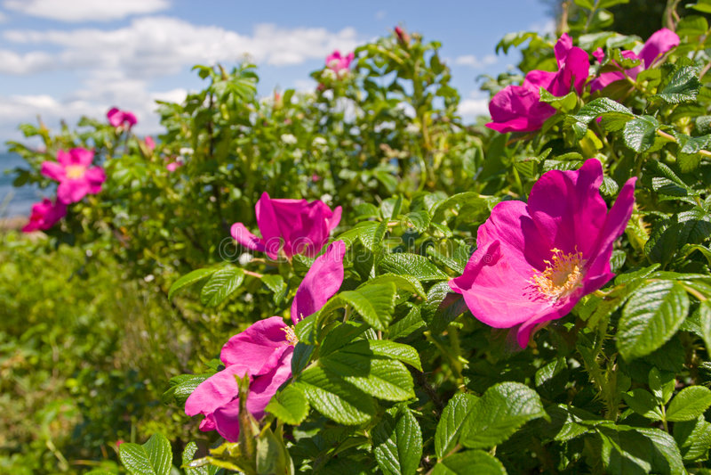 #2 cor-de-rosa selvagem fotos de stock