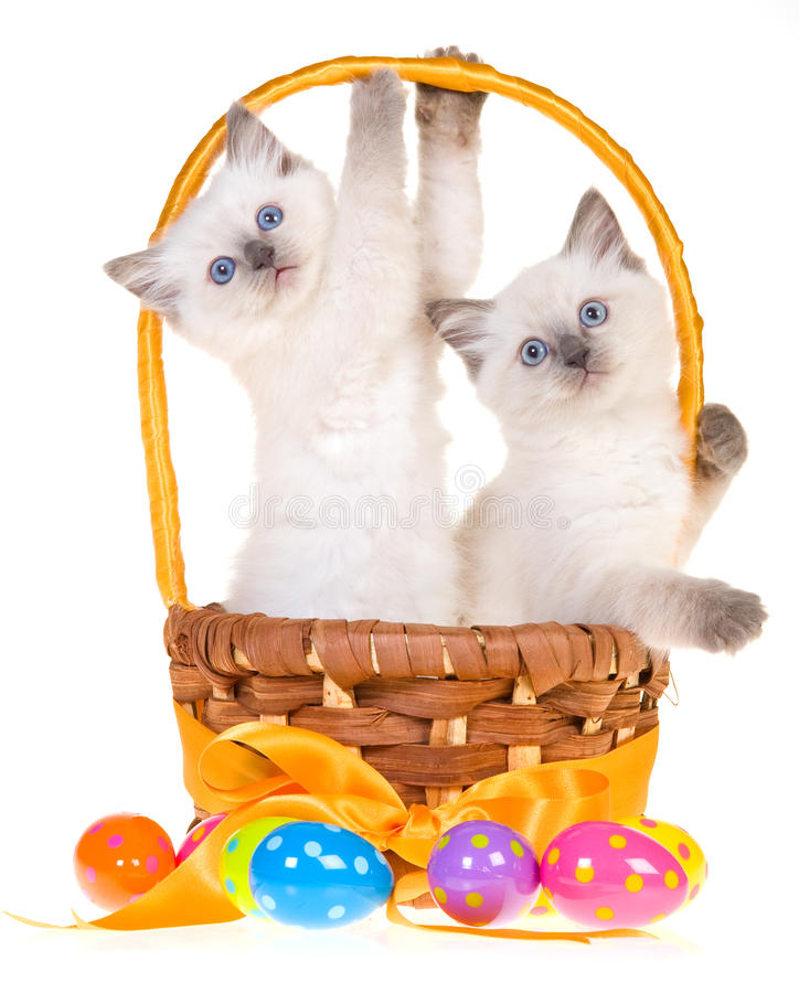 2 cute Easter Ragdoll kittens stock photos
