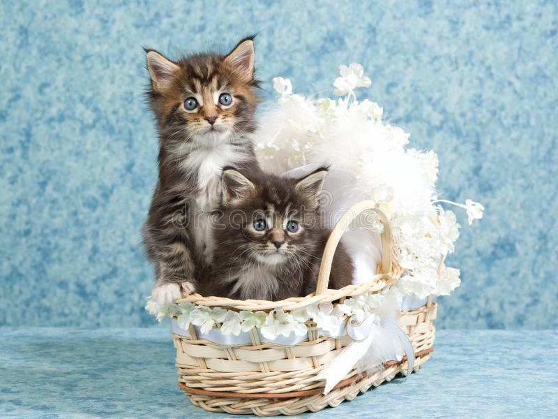 2 Cute Maine Coon kittens in mini baby crib. Brown Maine Coon kittens sitting inside mini baby crib decorated with daisies and bow royalty free stock photo