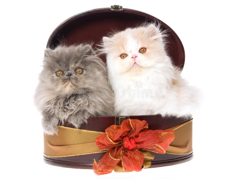 2 cute Persian kittens in gift box royalty free stock photography