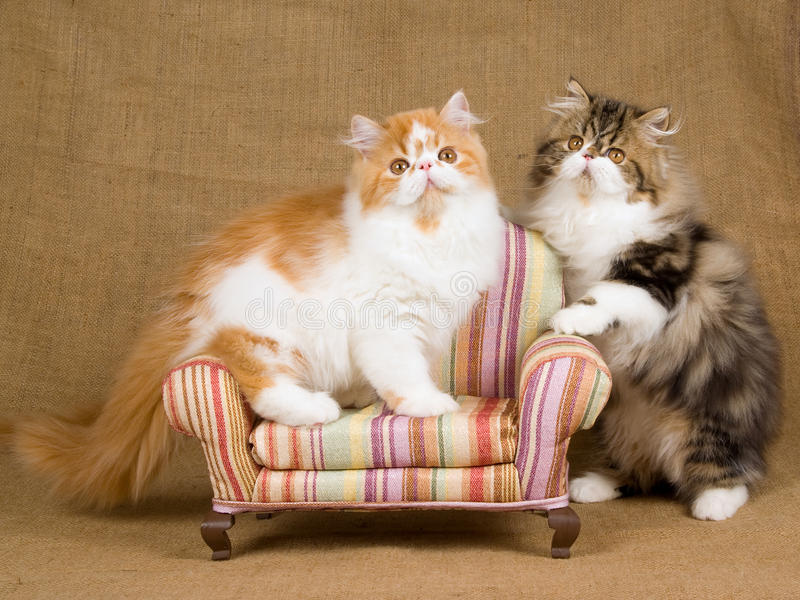 2 cute Persian kittens with miniature chair stock photos