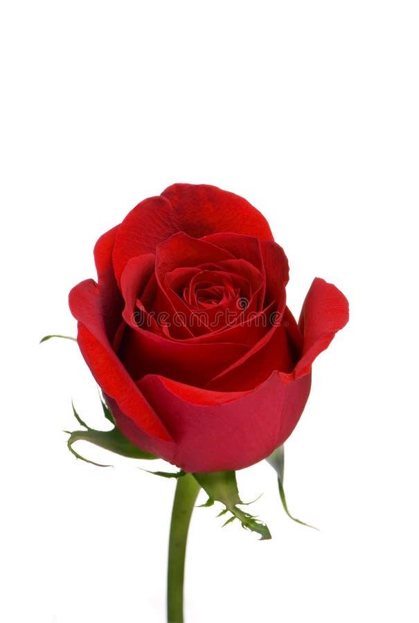 2 czerwona róża obrazy royalty free
