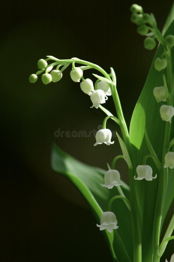 2 dale lilii zdjęcie royalty free