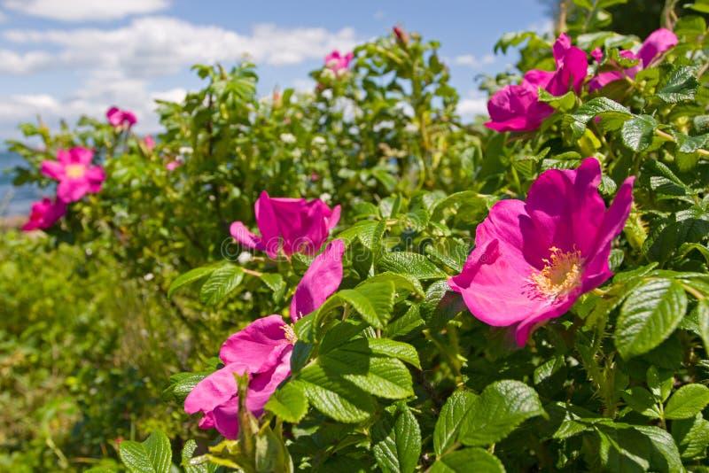 #2 di rosa selvaggio fotografie stock