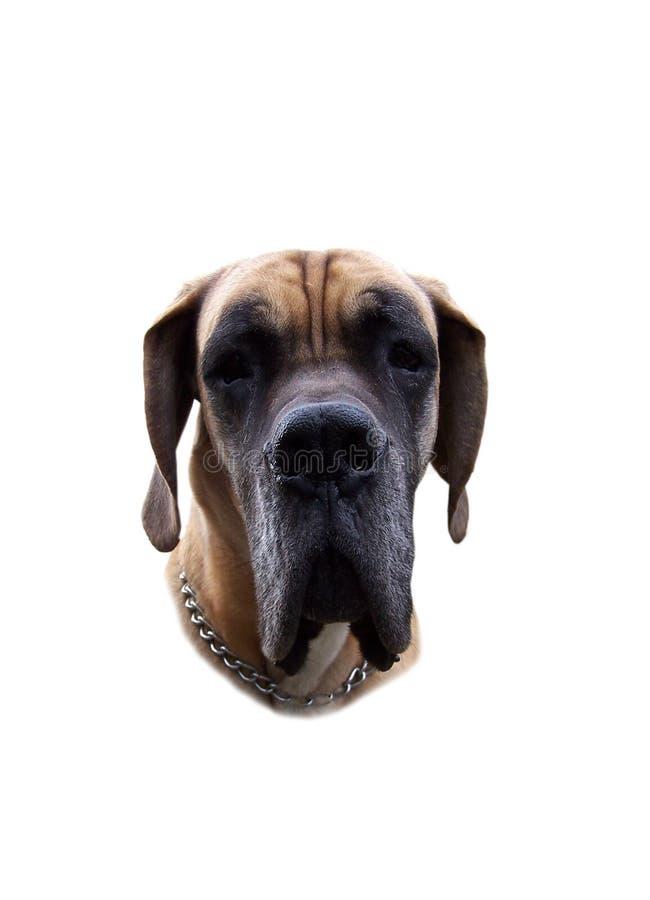 2 dogge德语 免版税库存图片