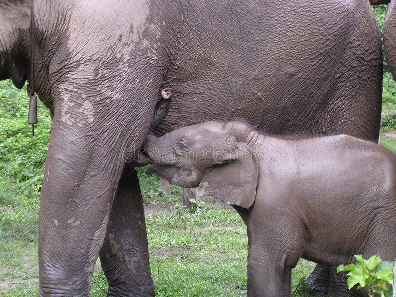 2 elelphants fotografia royalty free