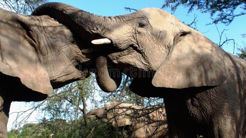 2 Elephant Animal Free Public Domain Cc0 Image
