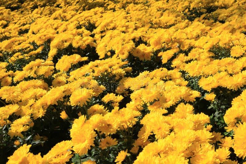 2 färgrika chrysanthemums stock illustrationer