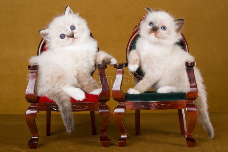 2 gatinhos bonitos de Ragdoll em mini cadeiras foto de stock royalty free