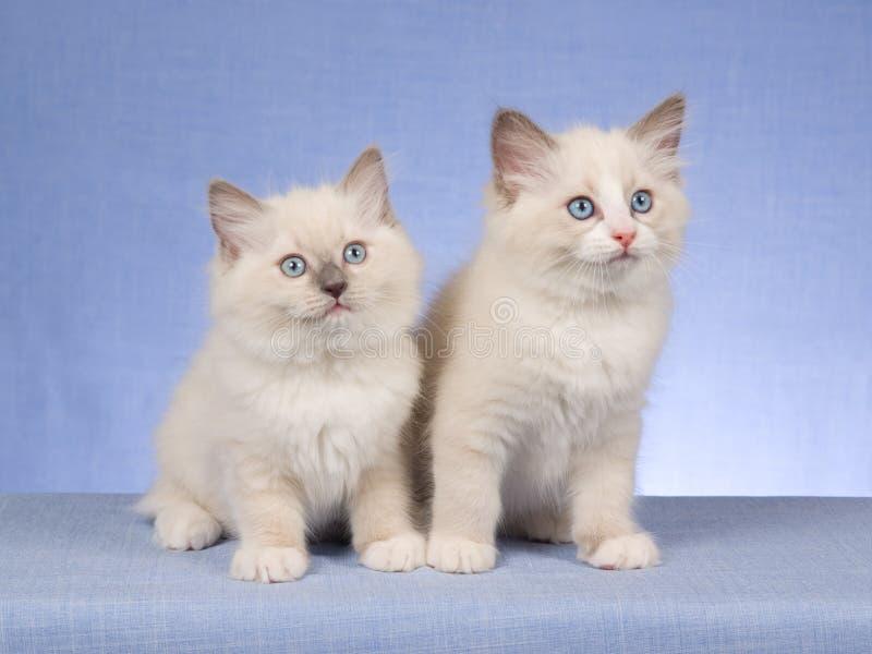 2 gatinhos bonitos de Ragdoll no fundo azul fotografia de stock