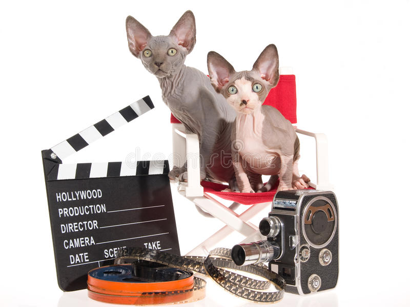 2 gatinhos de Sphynx com suportes do filme imagem de stock