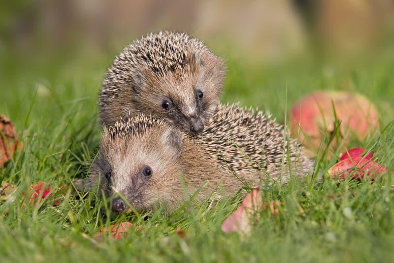 2 hedgehogs стоковое изображение