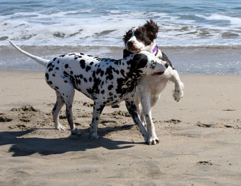2 honden het spelen royalty-vrije stock afbeeldingen