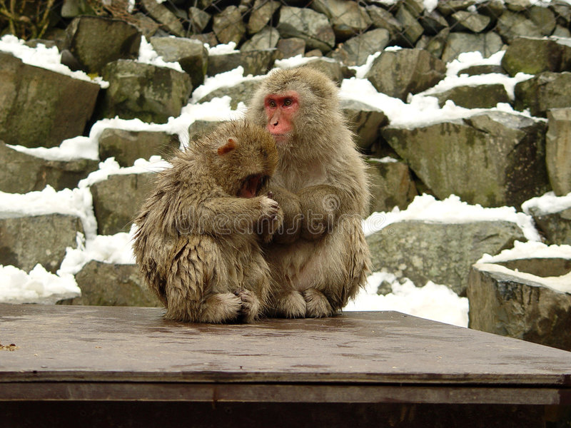 2 Japanese macaques. Two Japanese Macaques or also known as snow monkeys at Yudanaka near Nagano in Japan royalty free stock photo