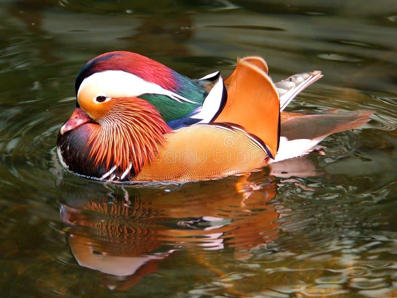 2 kaczka mandrian zdjęcie stock