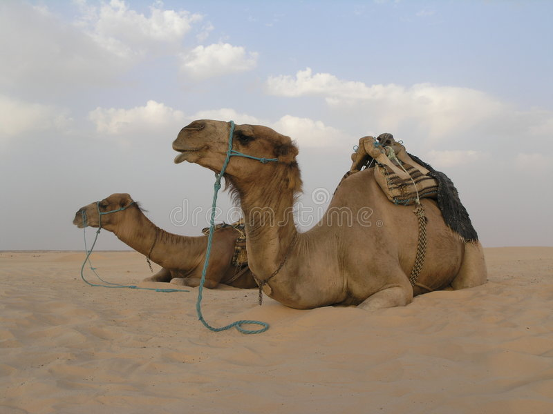 2 kamel fotografering för bildbyråer
