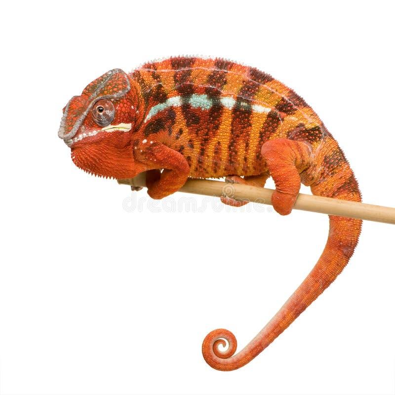 2 kameleona furcifer pardalis sambava roku zdjęcie stock