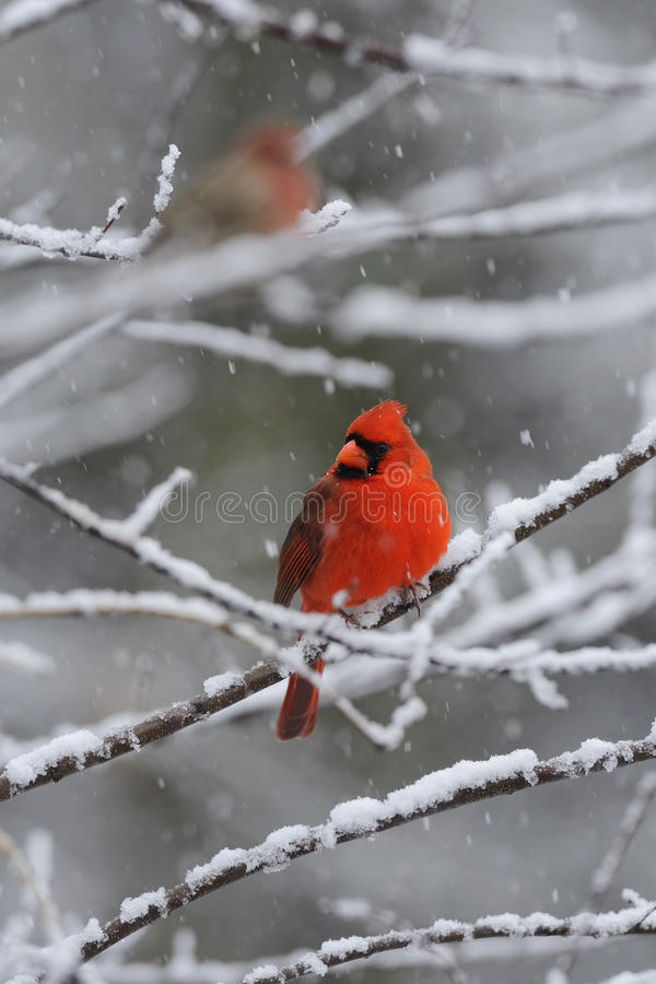 2 kardynałów śnieg zdjęcie royalty free