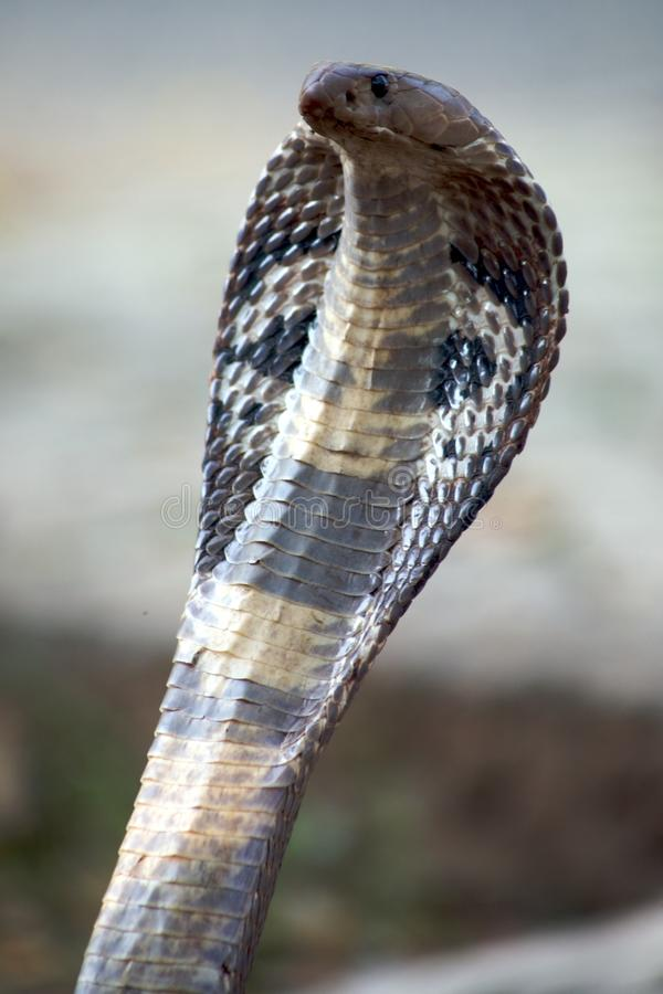 2 kobra zdjęcie royalty free