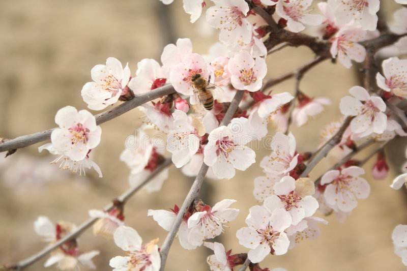 2 kwiaty czereśniowego zdjęcia stock