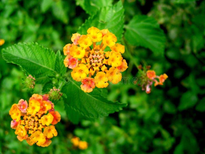 2 Kwiaty Pomarańczy Zdjęcie Stock
