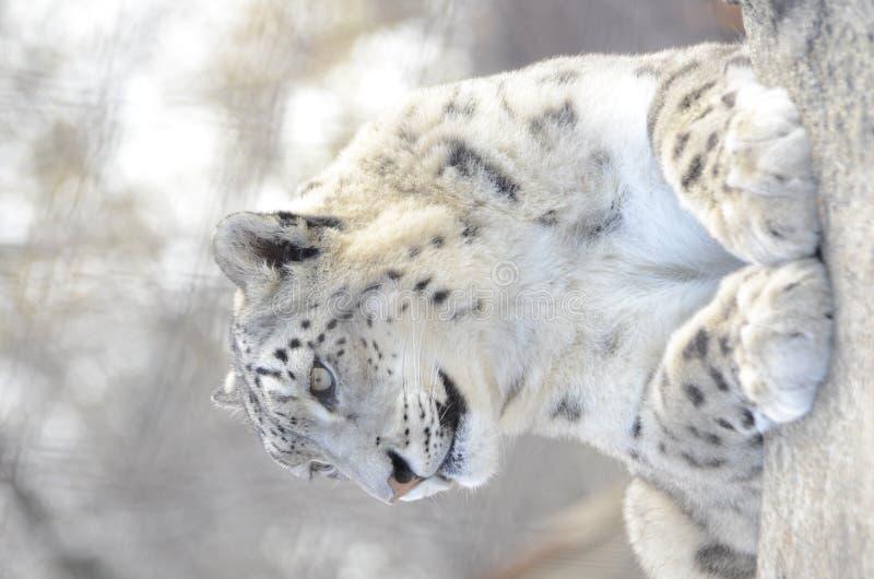 2 lampartów śnieg obraz royalty free