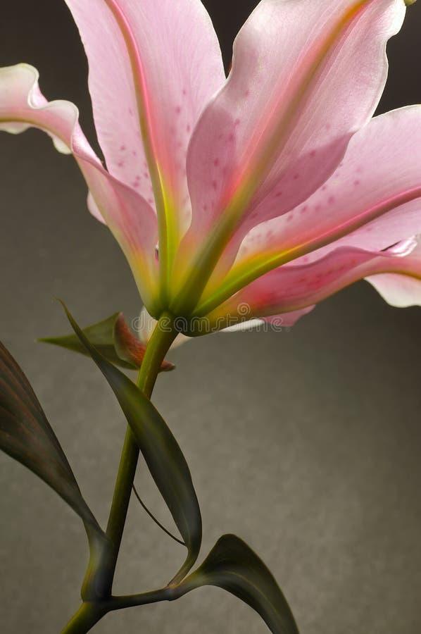 2 lilly 免版税图库摄影