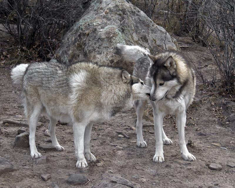 2 lobos foto de stock royalty free