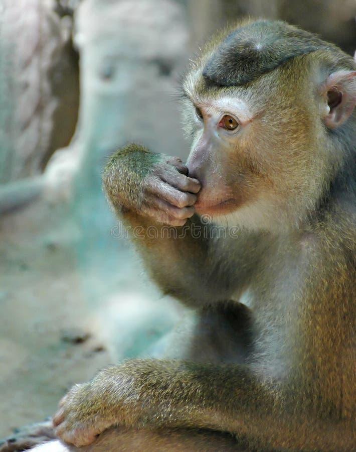 2 małpa obrazy stock