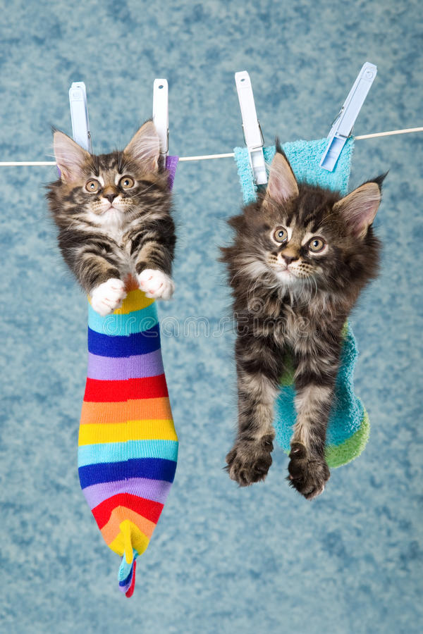 2 Maine Coon kittens in socks on line. 2 Maine Coon kittens sitting inside socks hanging from laundry line, on blue background stock images