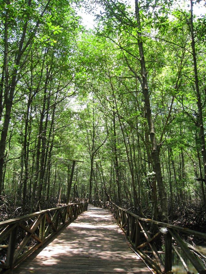 2 mangrowe fotografia stock