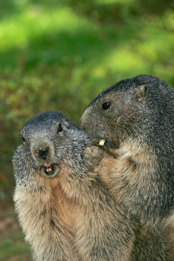 2 marmota imagem de stock royalty free