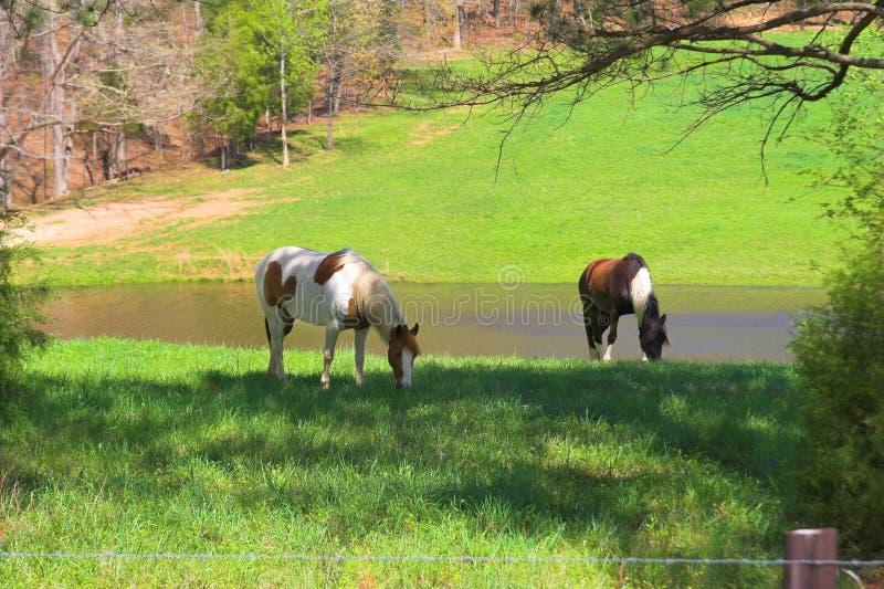 2 meadows koni. obrazy royalty free