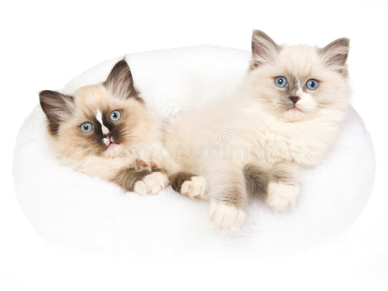 2 mitted Ragdoll kittens in white fur bed. 2 cute Ragdoll kittens sitting in soft white fur bed, on white background stock image