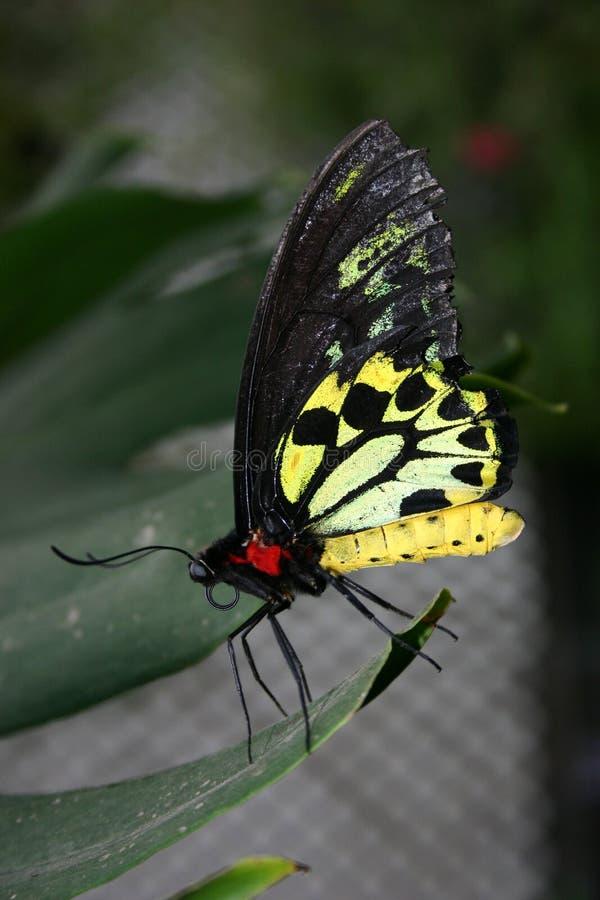 2 motyl obrazy royalty free