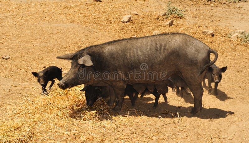 2 nebrodi czarny świnia zdjęcia royalty free